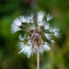 Blow a wish by Goran Matejin - Nature Up Close Other plants ( wind, macro, nature, dandelion, close up )
