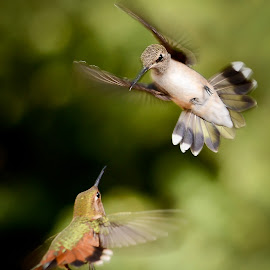 Ready to Rumble by Joshua Esquivel - Animals Birds ( sedona wildlife photography hummingbirds inflight )