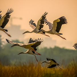 DREAM FLIGHT by Chandan Hazra - Animals Birds ( open bill stork, bird, warm, group, bif,  )