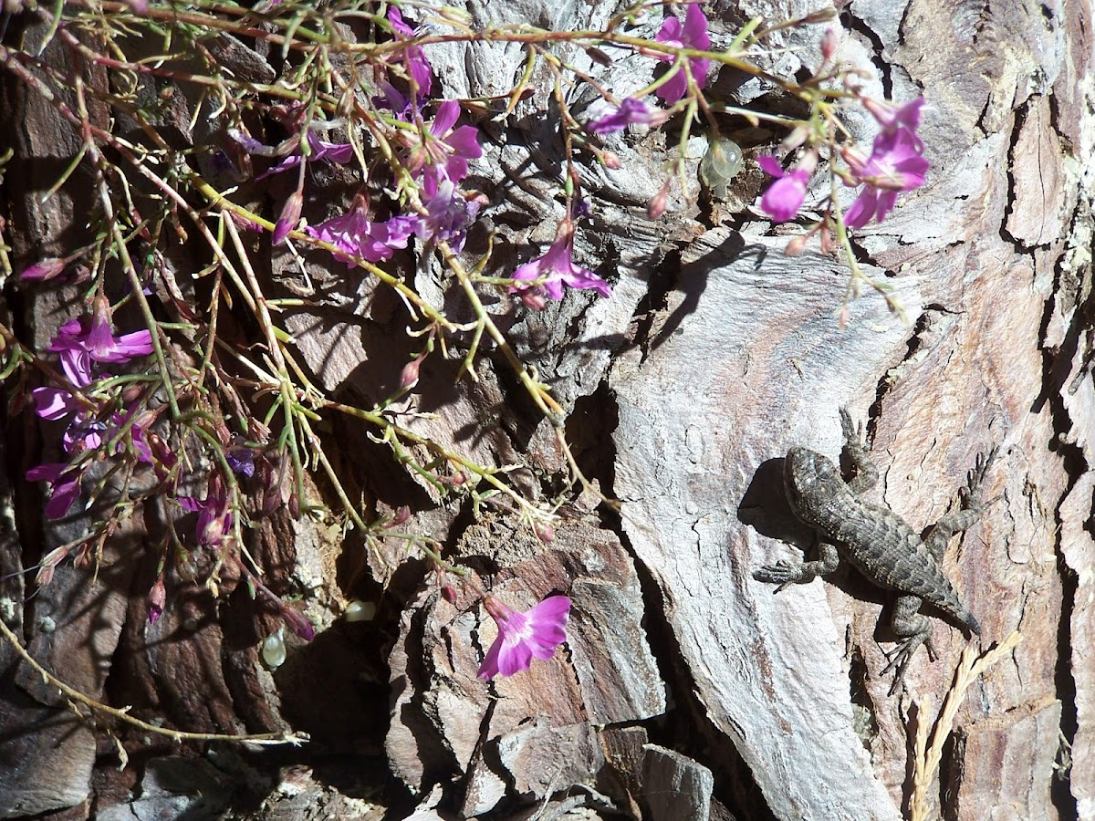 Baby western fence lizard