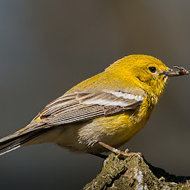Pine Warbler Lunch by Paul Brown Jr. - Animals Birds ( spring birds, birds )