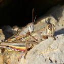 Egyptian Locust mating