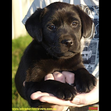 Truebred Labradors puppies