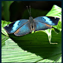 Blue Oakleaf Butterfly