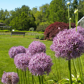 Alliums at Elizabeth Park in Hartford, CT by ChrisTina Shaskus - City,  Street & Park  City Parks ( japanese maple, nature, garden gardens hartford, peace, summer, purple allium flowers, red green, beauty, landscape, spring, floral, park elizabeth )