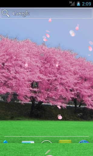 Cherry blossoms - Full