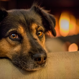 Waiting for Santa by Benjamin Sr. - Animals - Dogs Portraits ( cozy, winter, christmas, warmth )