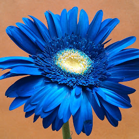 Blue Beauty ! by Darshan Trivedi - Flowers Single Flower ( macro, android, nature, blue, beautiful, lovely, daisy, flower, mobile,  )