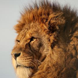 Lion by Ralph Harvey - Animals Lions, Tigers & Big Cats ( lion, noahs ark zoo, wildlife, ralph harvey, animal )