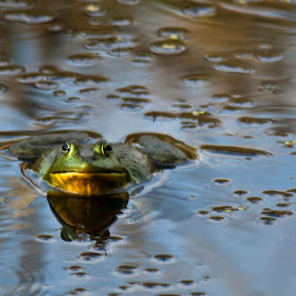 Frog by Paul Toscano - Animals Amphibians ( frog toad amphibian marsh swamp water,  )