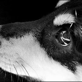 Nikita No2 by Tomislav Zebic - Animals - Dogs Portraits