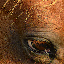 The eyes have it by Edie Obryant - Animals Horses