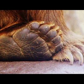 Bear claws by Terry Moffatt - Animals Other Mammals ( bear, feet, bear claws, claws )