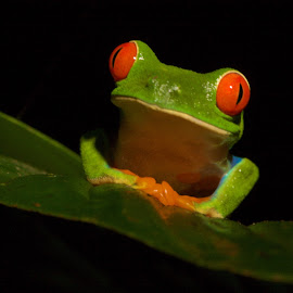 Welcome to My Pad! by Betty Arnold - Animals Amphibians ( red eyed tree frog, frog, animal )