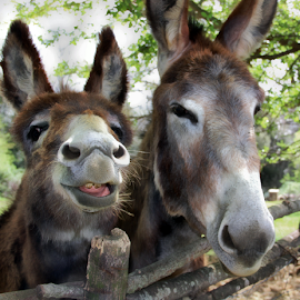 Donkeys  by Katarzyna Malinowska - Animals Other Mammals ( maremma italy tuscany )