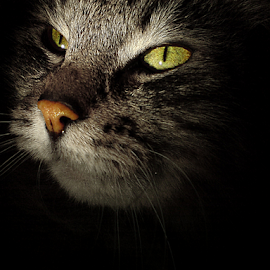 One hope for two eyes by Jurijs Ratanins - Animals - Cats Portraits ( look, mobilography, cat, pet, portrait, animal )