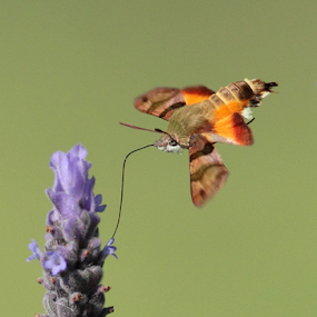 African Hummingbird Moth by Andrew Keys - Animals Insects & Spiders