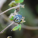 Stink Bug(larva)
