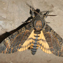 Death head hawk moth