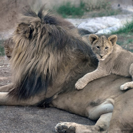 Lions by Dawn Hoehn Hagler - Animals Lions, Tigers & Big Cats ( big cat, lion, zoo, reid park zoo, tucson, cub, lion cub,  )