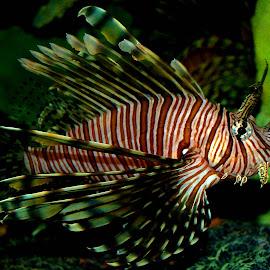 Lionfish by Philip Molyneux - Animals Fish (  )