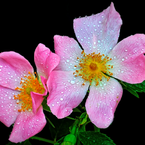 Lovely wild rose by Irena Gedgaudiene - Flowers Flowers in the Wild ( black background, rose, water drops, pink, flower, nikon d90, blossoms, soft,  )
