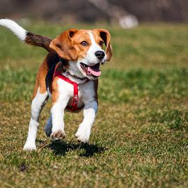 Beagle by Constantinescu Adrian Radu - Animals - Dogs Playing