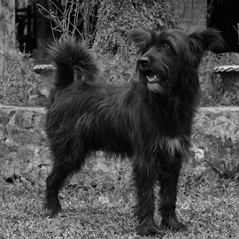 Black dog stare by Kumud Lekhok - Novices Only Pets ( black and white, pet, stare, cute, dog, black, animal )