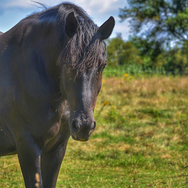 Black Beauty by Wendy Greenhut - Animals Horses