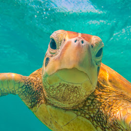 Green Turtle Selfie by Colin Davis - Animals Reptiles ( selfie, green, reptile, turtle )