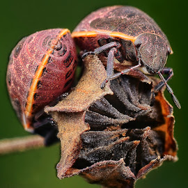 Stink bug by SweeMing YOUNG - Animals Insects & Spiders
