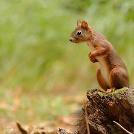 watching around by Cédric Guere - Animals Other ( wild, red, nature, watching, female, wildlife, squirrel, animal )