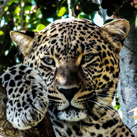 Leopard  by ChriStiaan Sales - Animals Lions, Tigers & Big Cats ( big cat, wild animal, wild, cat, animals, wildlife, eyes, cats, wild life, nature, wild cats, leopard, animal, eye )
