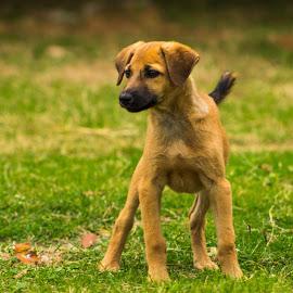 by Manoj Prabhakar - Animals - Dogs Puppies