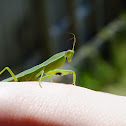 New Zealand Praying Mantis