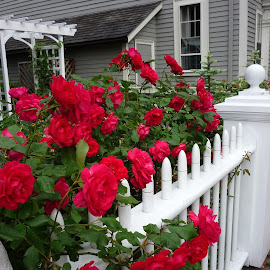 Cape Cod beauty by Debra Graham - Buildings & Architecture Homes ( roses and fence )