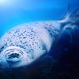 Seal by Felix Rusli - Animals Sea Creatures ( seals, seal, oceanarium, salt seal, underwater creature )