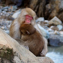 Snow Monkey (Juvenile)