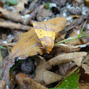 Rotbuchen-Gelbeule / Barred Sallow
