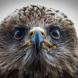 Red kite by Nicole Williams - Novices Only Wildlife ( bird prey kite portrait )