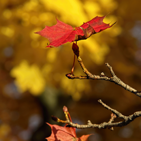 Maple Leaf by Julie Quesnel - Nature Up Close Leaves & Grasses ( red, tree, fall, leaf, maple )