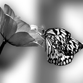 Butterfly in Black&White by Svein I. Ask - Black & White Macro ( butterfly, macro, monochrom, nature, black & white, flowers, insects )