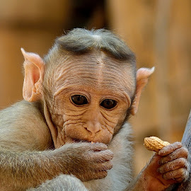 Baby Monkey by Maniraj M - Animals Other Mammals ( nature, wildlife, mammal, monkey, animal )