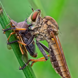 Big Meal..... by Vincent Sinaga - Animals Insects & Spiders