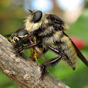 Bee Killer Fly