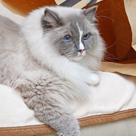 Lazy Ragdoll by Mia Ikonen - Animals - Cats Portraits ( ragdoll, funny, finland, lazy, expressive )