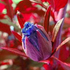 Blue in Red Leaves by Nat Bolfan-Stosic - Uncategorized All Uncategorized ( wild, pomegranate, red, blue, leaves,  )
