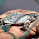 Albino Olive ridley sea turtle