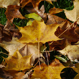 Autumn by Sharon Bennett - Nature Up Close Leaves & Grasses ( autumn, trees, brown, leaves, golden, fall, color, colorful, nature,  )