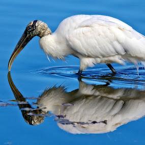 Reflection of a wood stork by Sandy Scott - Animals Birds ( stork, long-legged birds, endangered bird, water birds, birds, wood stork, threatened birds,  )
